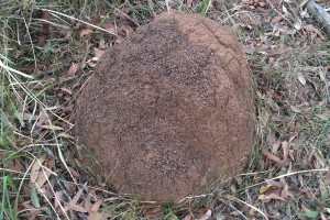 Termite Mound - Domed