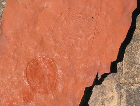 Ediacaran fossil. 550Ma old. Dickinsonia costata. Flinders Ra. SA.