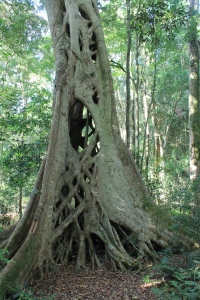 Strangling Fig. Ficus sp.