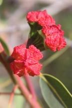 Eucalypt Capsule