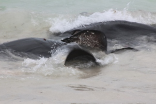 Stingrays: Hamelin Bay