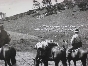 Photo: Graham Scully Collection: Alpine Grazing.