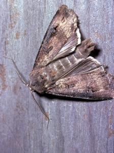 CSIRO: Bogong Moth