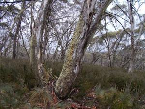 Photo: Lyn Hewitt: Snowgum woodland.