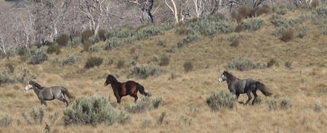 Photo: Peter Fowler: Brumbies in Nth Kosciuszko