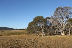 Treeline on Long Plain