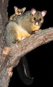 Common brush-tail possum