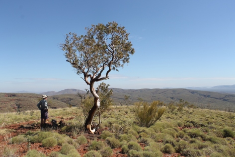 Brian standing in the shade of a solitary snappy gum on the flanks of Mt Meharry