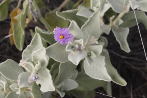 Flannel Bush: Solanum lasiophyllum
