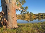 Red Gums near Waikerie