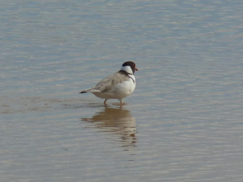 Hooded Plover: Status is vulnerable.