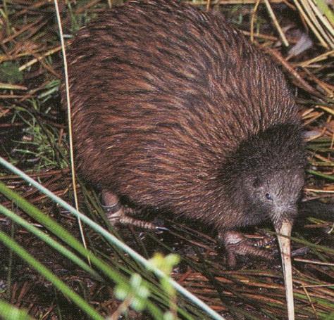Stewart Island Brown Kiwi