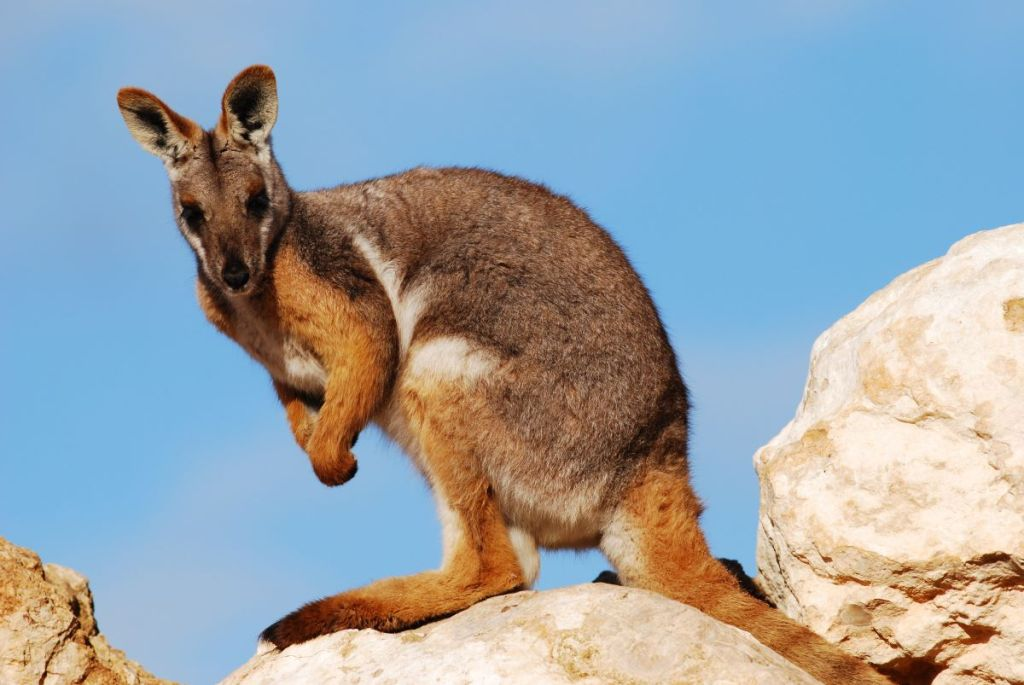 Yellow - footed Rock Wallaby