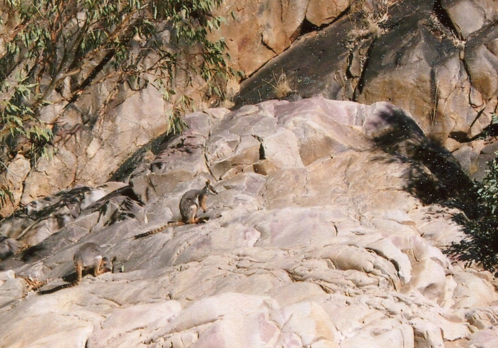 Yellow-footed Rock Wallabies in northern Flinders Ranges